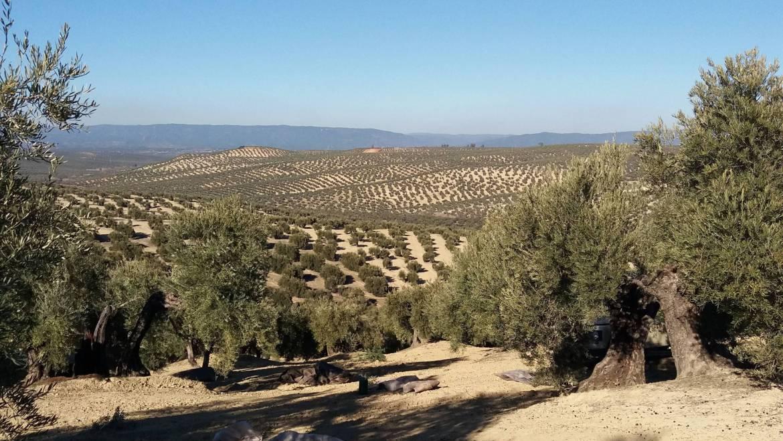 El olivar español podría capturar 7,3 MM tn de CO2/año