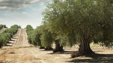 Los hitos del aceite de oliva en 2020
